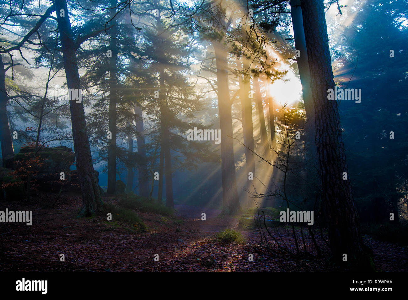 mystical forest in the vosges mountains near the mont saint odile monastery - Stock Image