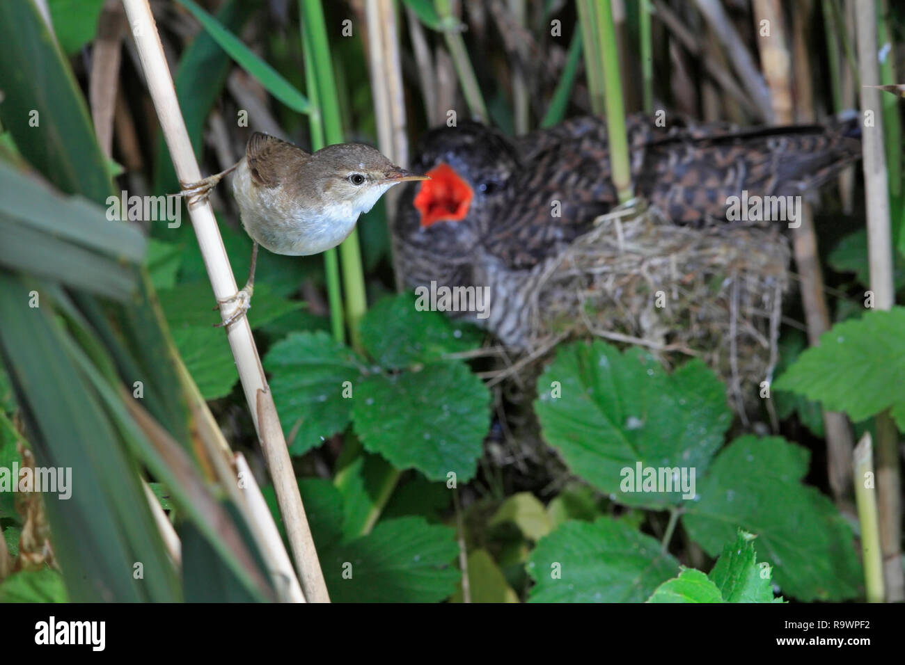REED WARBLER (Acrocephalus scirpaceus) with cuckoo parasite in the background, UK. - Stock Image