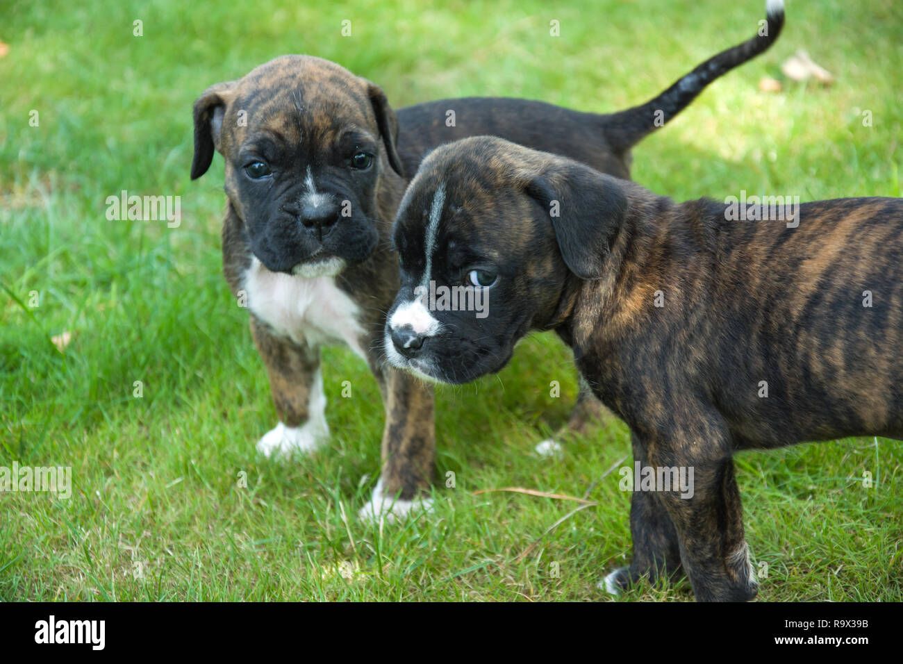 Two brown-black boxer puppies standing on the grass Stock