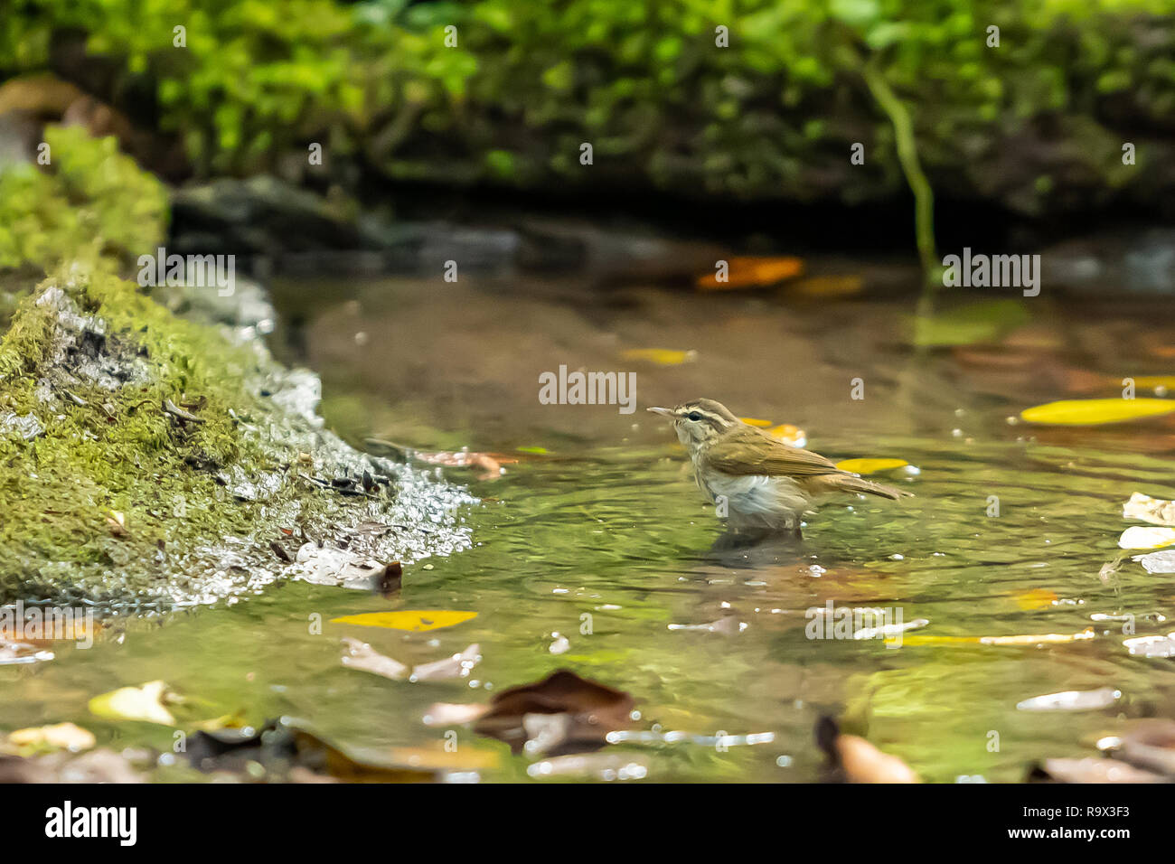 A Pale legged Leaf warbler bathing in a natural small pond Stock Photo
