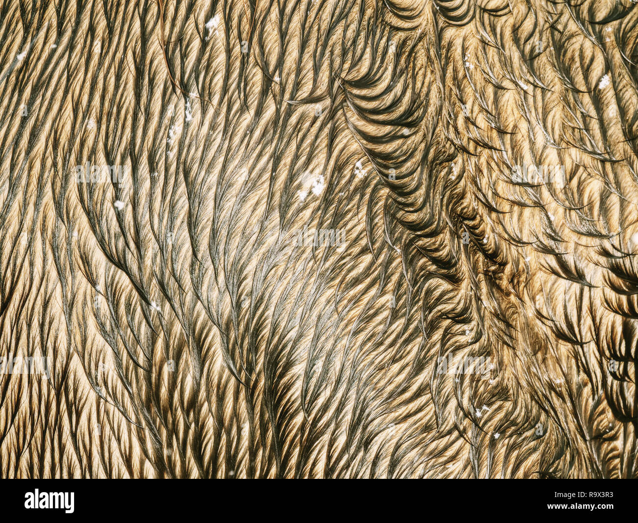 Natural horse fur. Animal hair in wet winter weather. Detailed hairy leather on horse back. - Stock Image