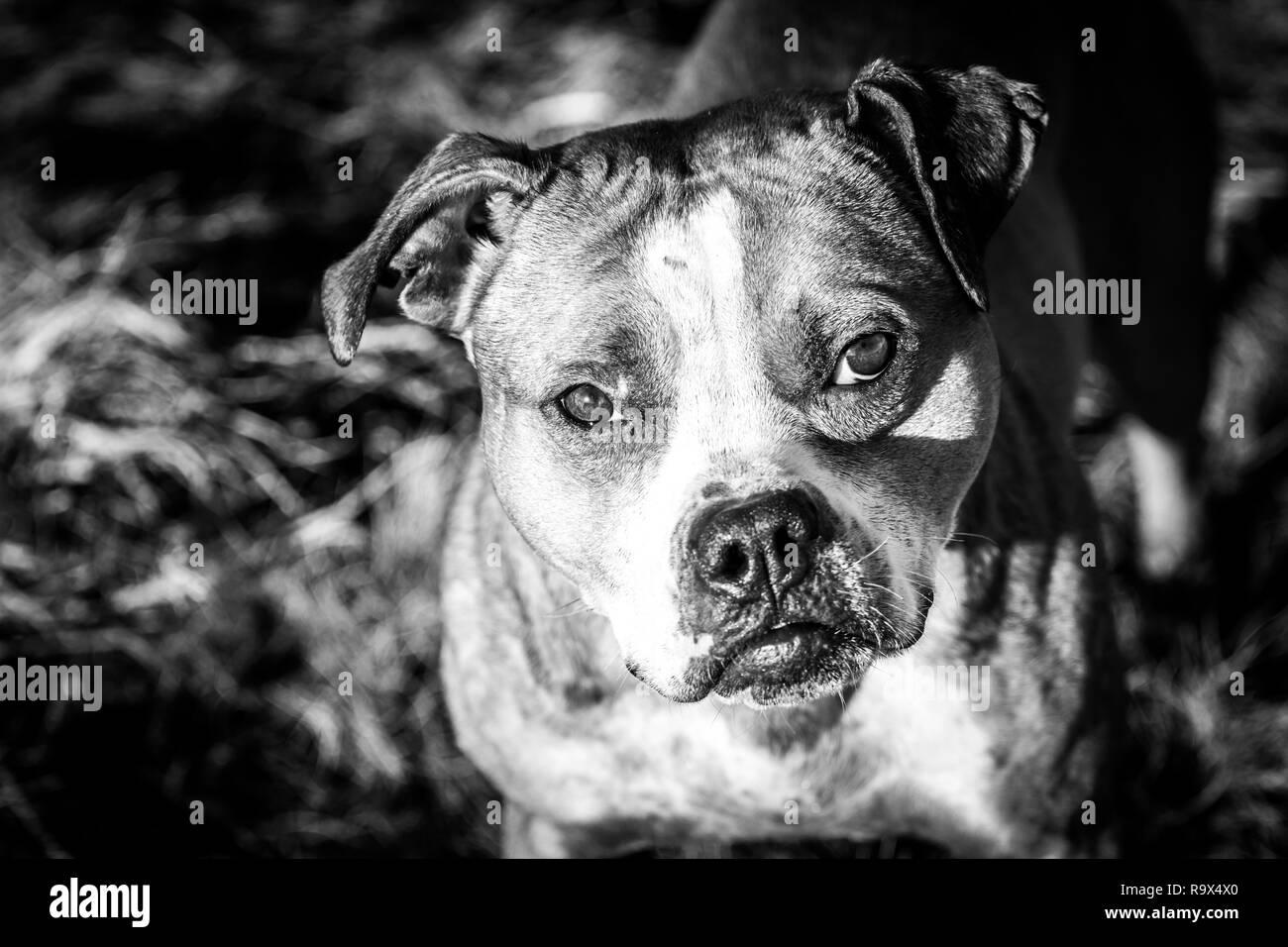 Male American Pit Bull Terrier in black & white portrait - Stock Image