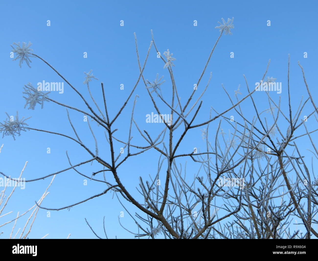 The branches of cotinus coggygria with heavily frosted inflorescences are striking against a blue sky in the wintry sunshine of a Scottish garden. Stock Photo