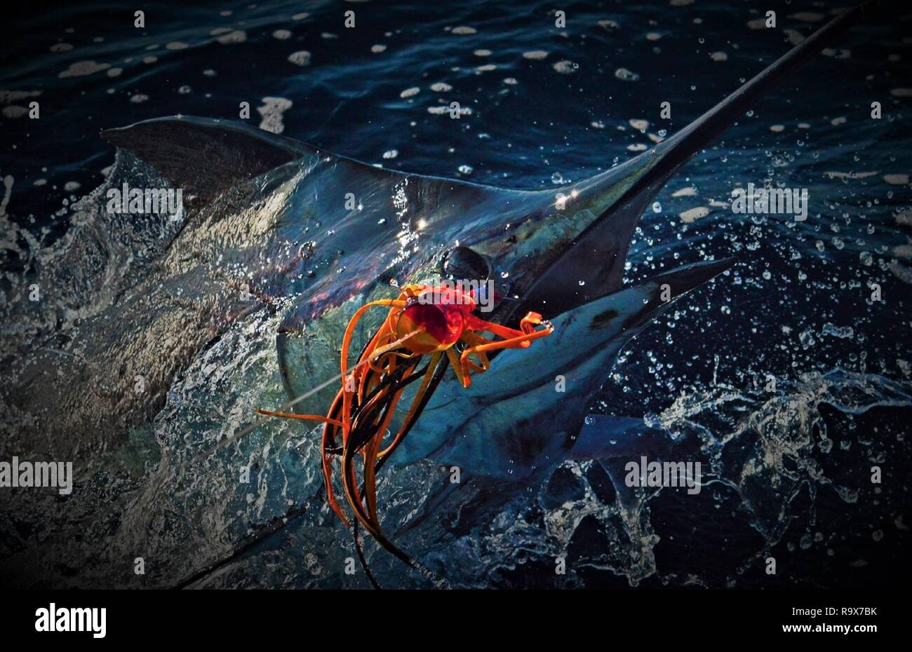 Big Marlin jumping boat side Stock Photo