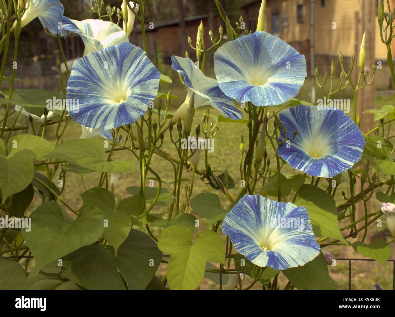 Blue And White Morning Glories Abloom In The Backyard - Stock Image