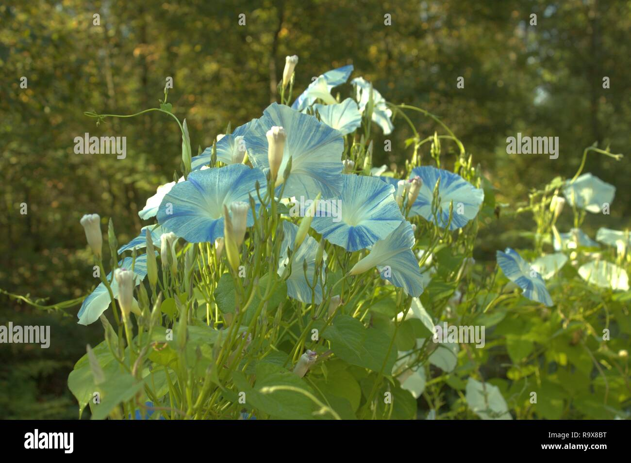 Blue And White Morning Glories In The Sun - Stock Image