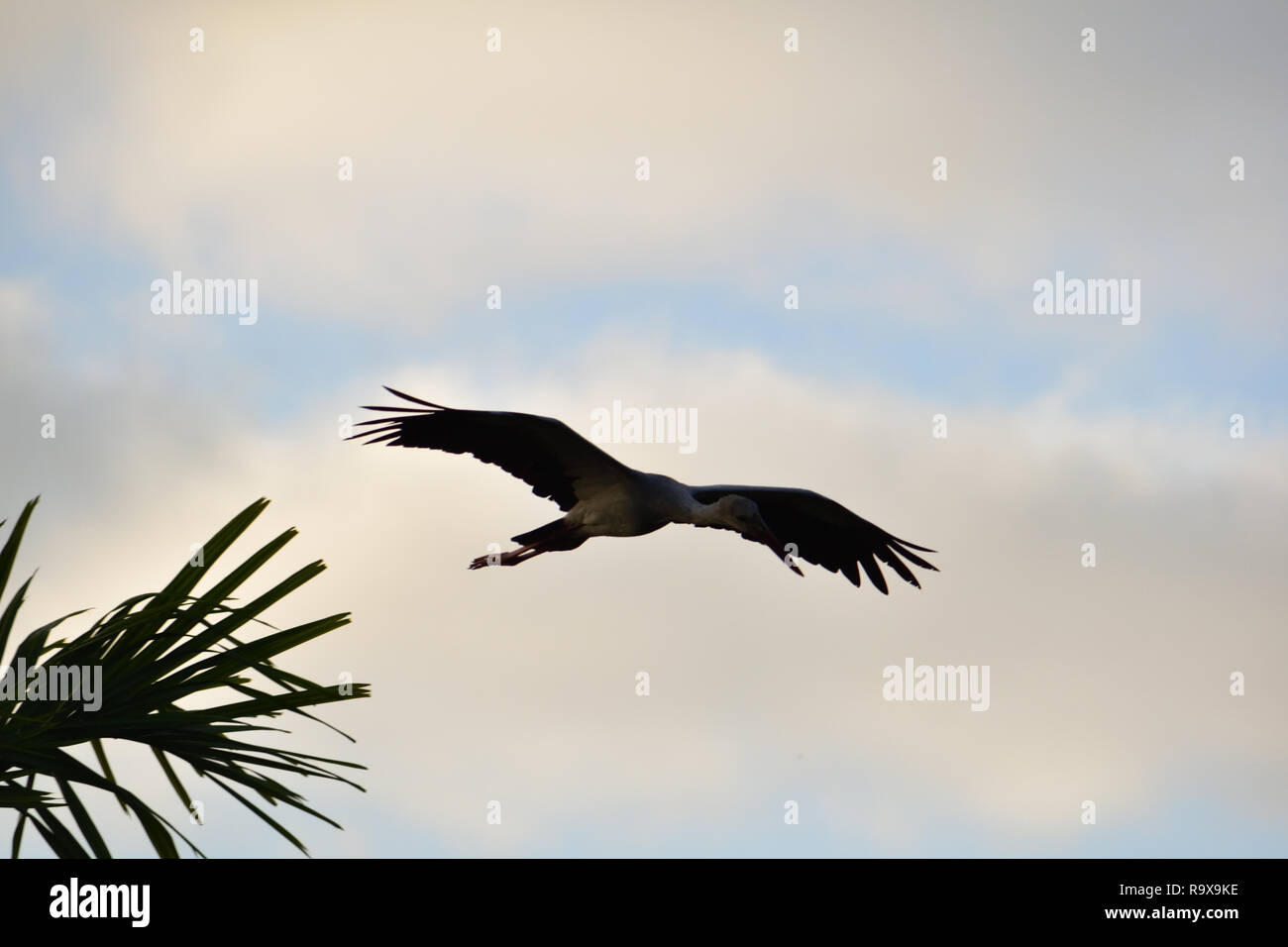 White stork flying in the sky with its spread wings Stock Photo