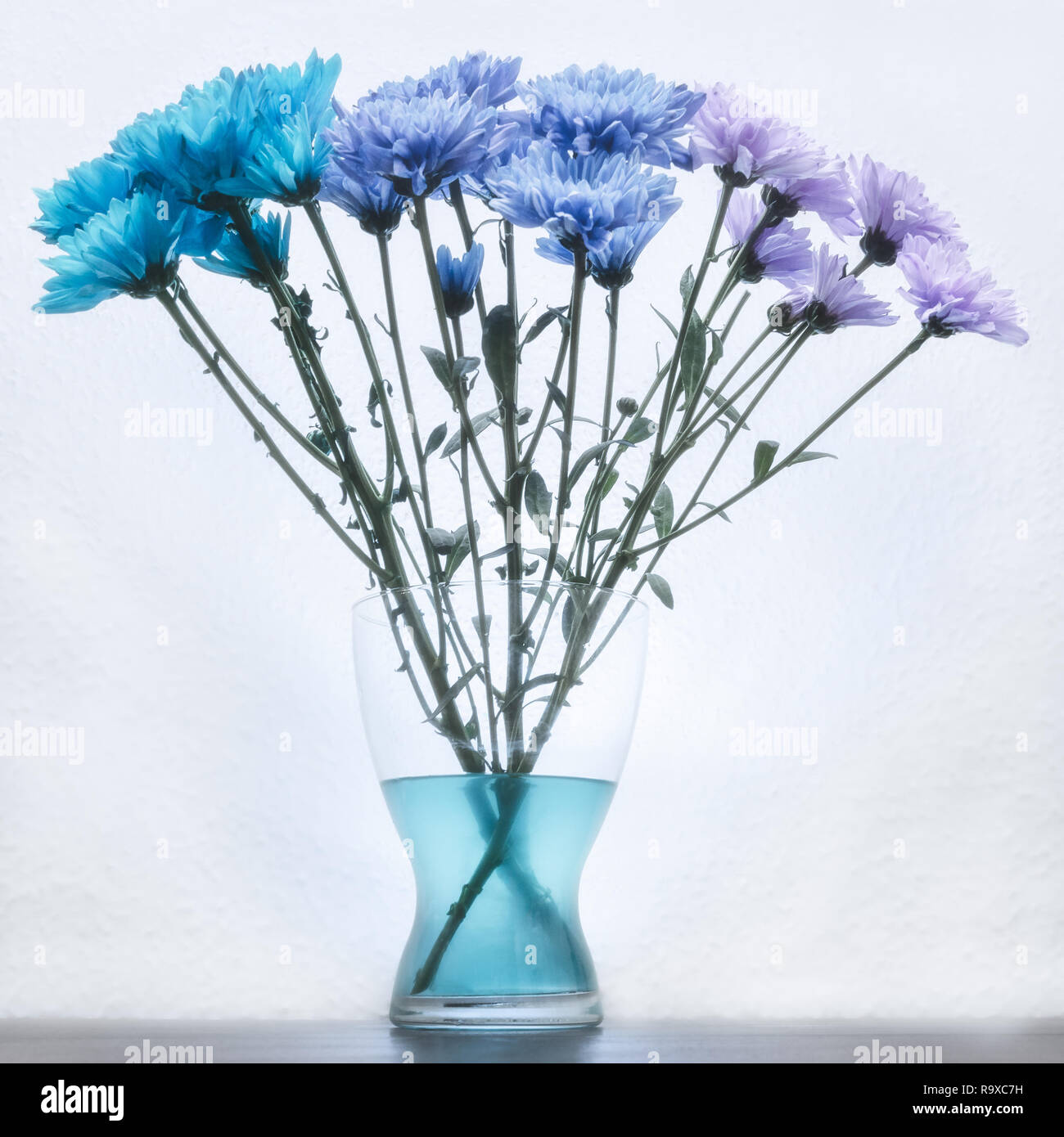 blue and purple dyed carnation flowers in a glass vase Stock Photo