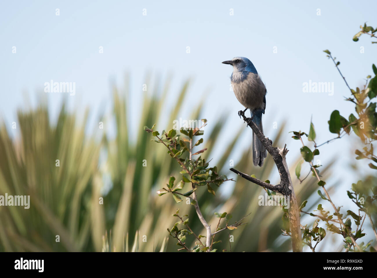 A Florida Scrub Jay, considered vulnerable to extinction due to habitat loss, perches along the side of a busy road on Merritt Island in Florida. - Stock Image