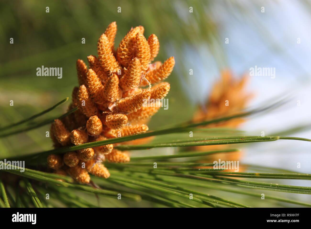Aleppo pine flower, Pinus halepensis, Mljet Croatia - Stock Image