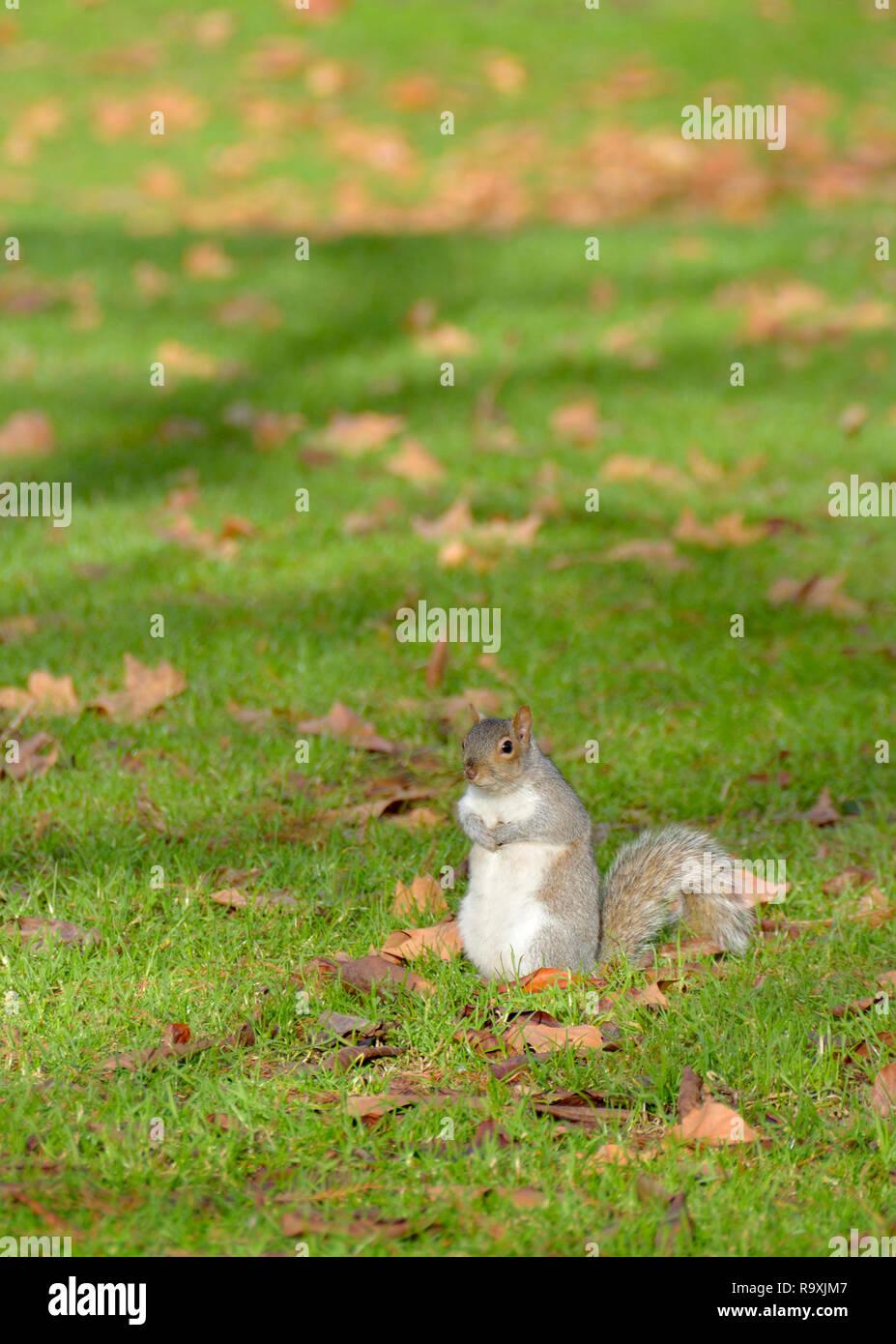 Grey Squirrel (Eastern Grey Squirrel / Gray Squirrel) Sciurus carolinensis. UK, - Stock Image