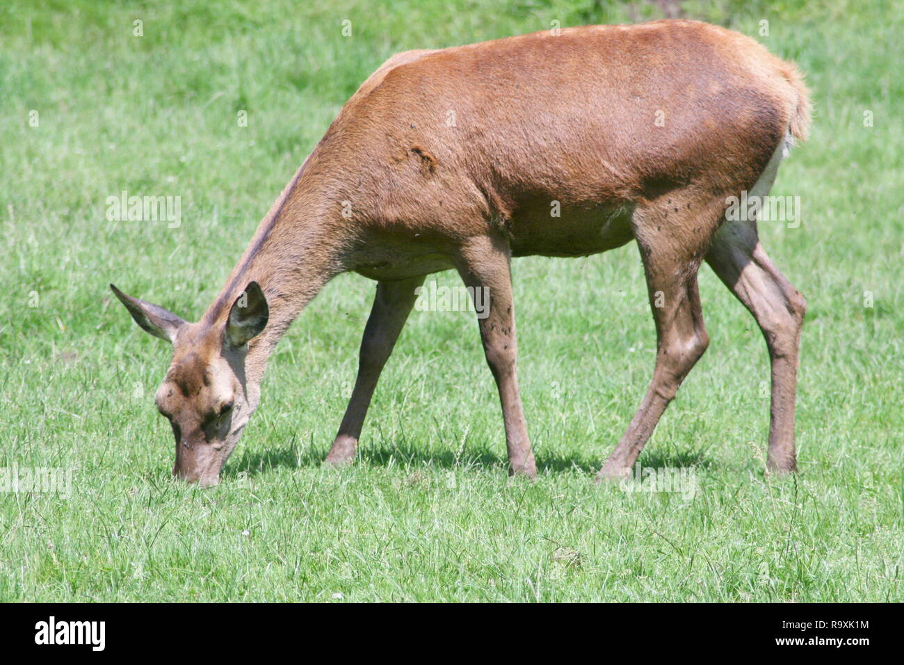 a female red deer, when eating Stock Photo