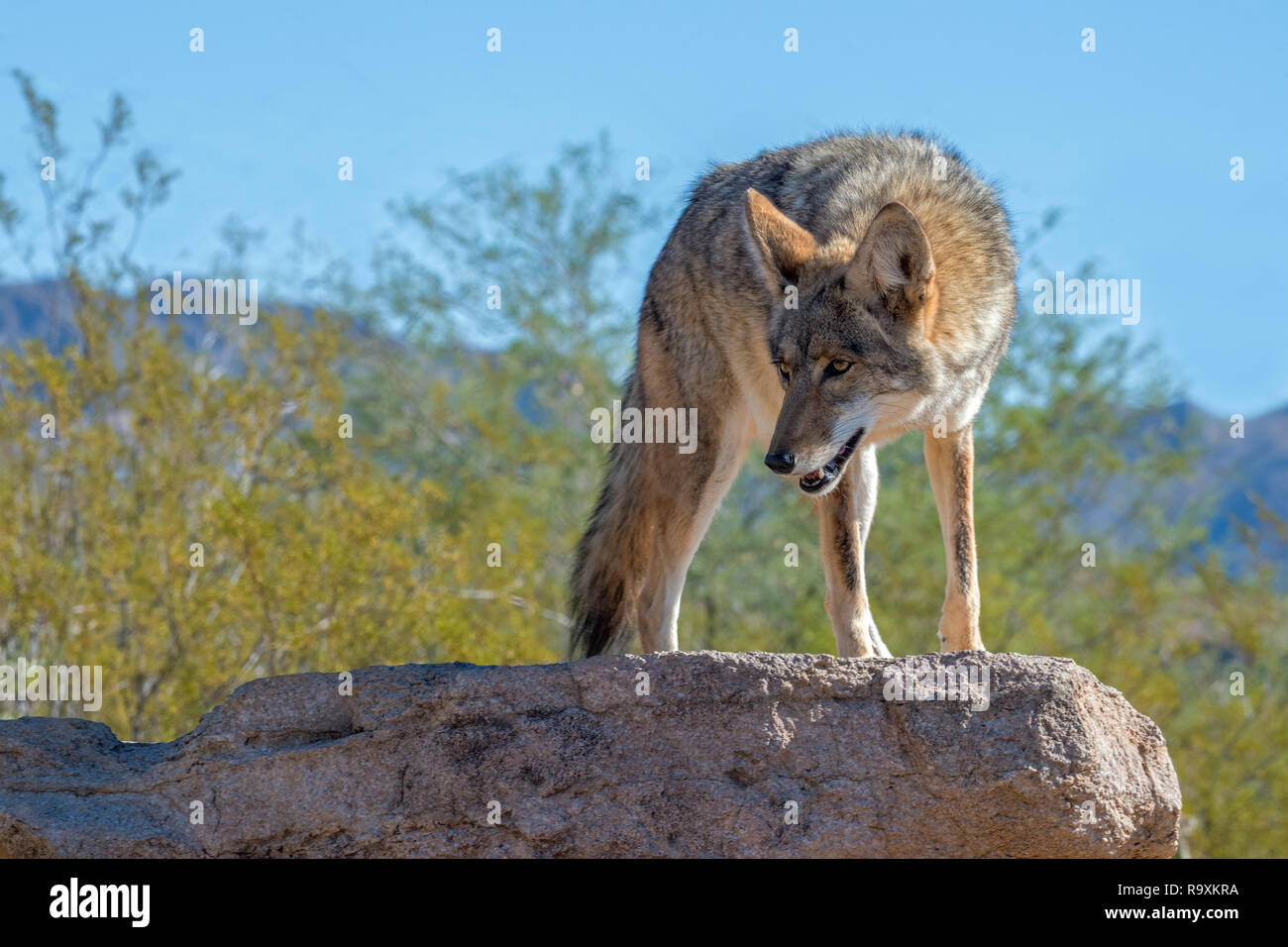 Coyote Turning on a Rock in the Desert Southwest - Stock Image
