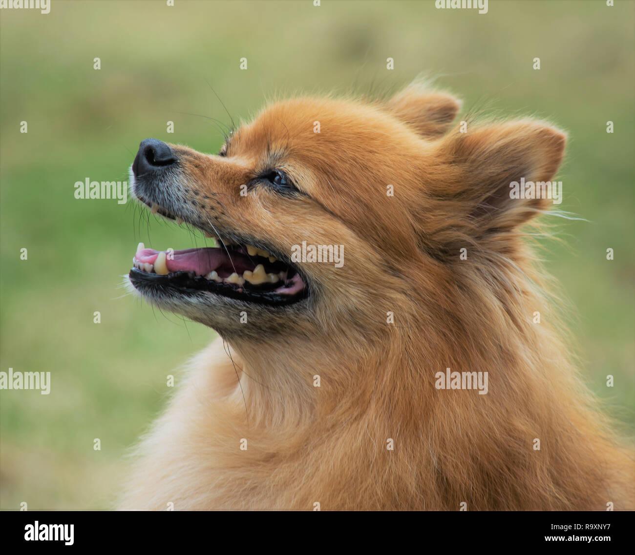 Pomeranian Dog head shot Stock Photo