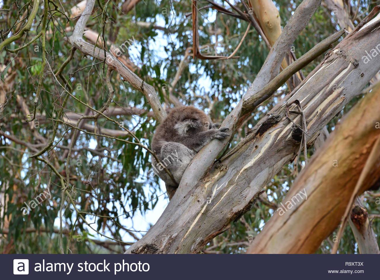 Koala on Phillip Island - Stock Image