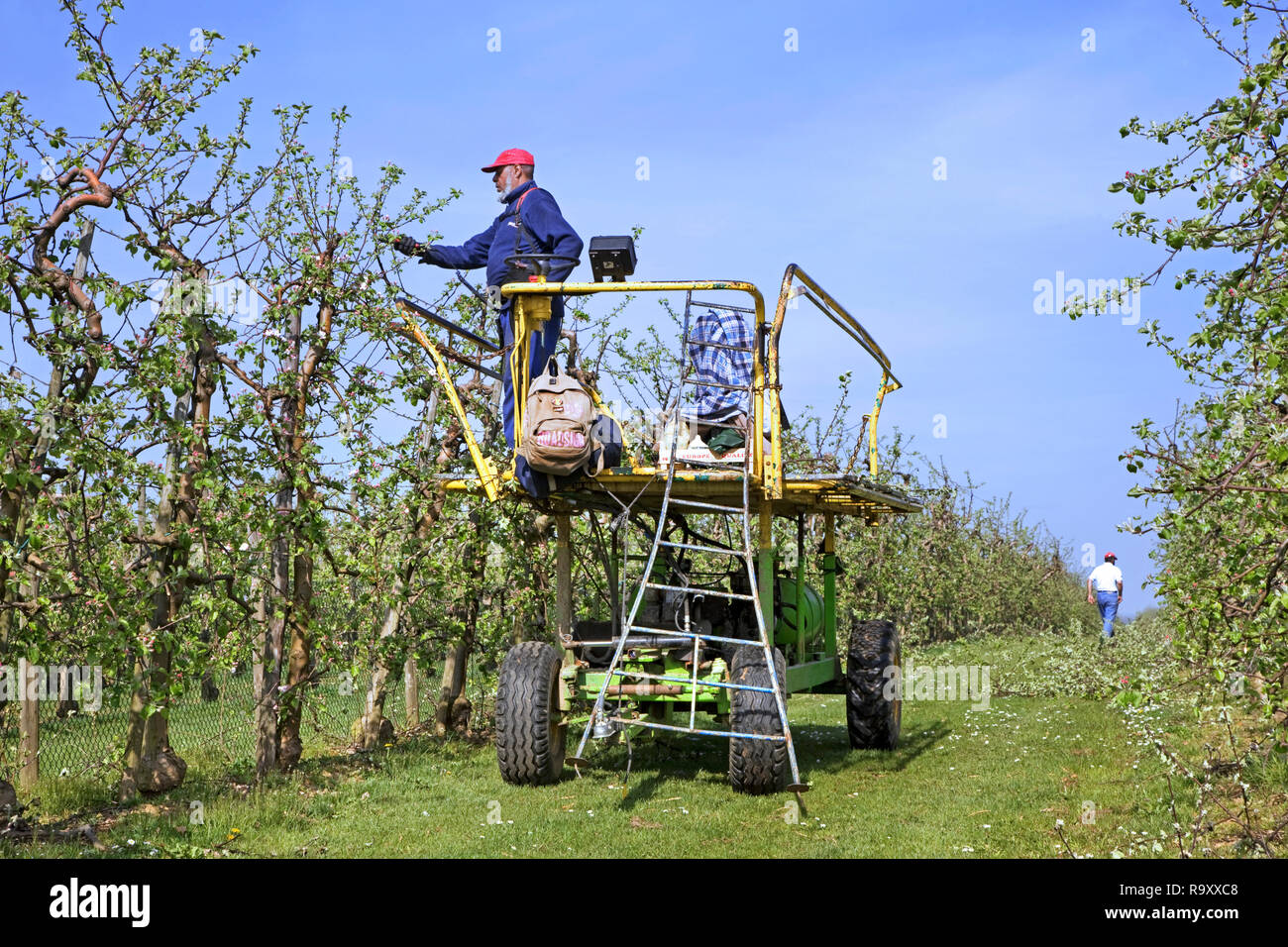 Migrant labourer / immigrant worker clipping fruit trees with electric pruning shear in apple orchard in spring - Stock Image