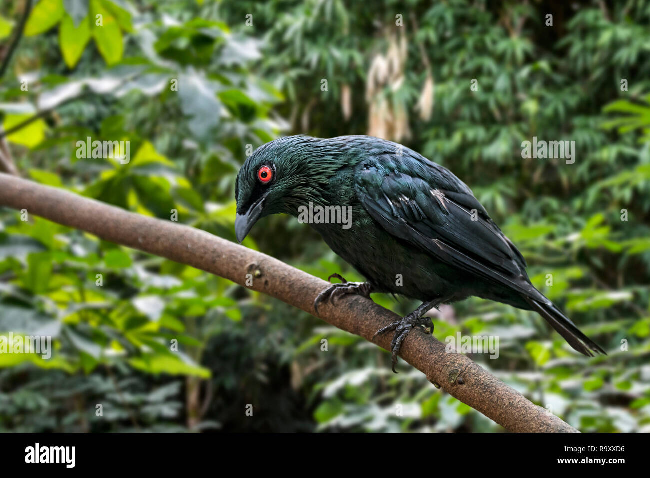 Asian glossy starling (Aplonis panayensis) perched in tree, native to tropical mangrove forests of the Indian subcontinent, Asia - Stock Image
