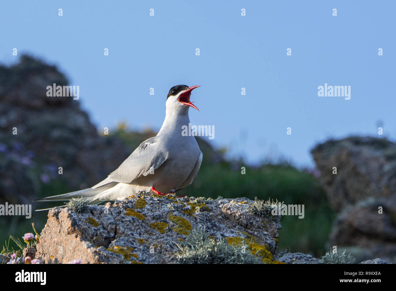 Arctic tern (Sterna paradisaea) calling from rock on the shore, Scotland, UK - Stock Image