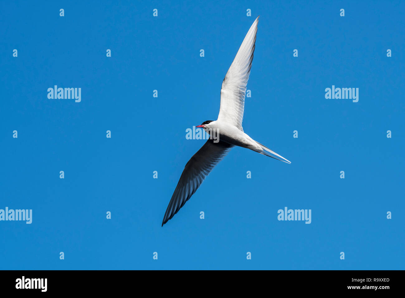 Arctic tern (Sterna paradisaea) in flight, soaring against blue sky, Shetland Islands, Scotland, UK - Stock Image
