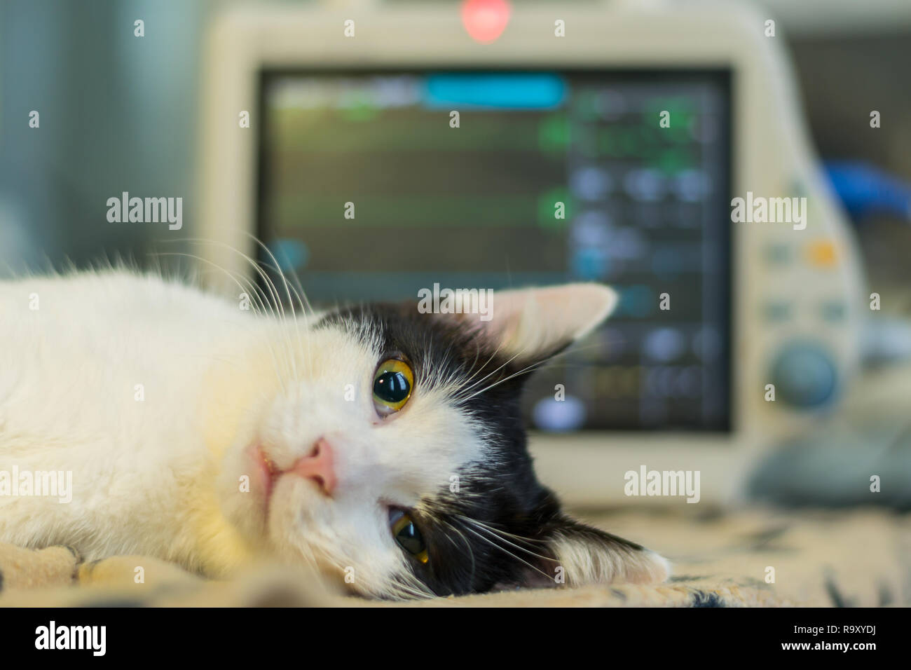 anesthetized adult cat and open eyes - Stock Image