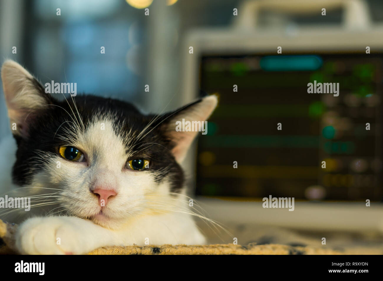 anesthetized adult cat and open eyes, monitor on background - Stock Image