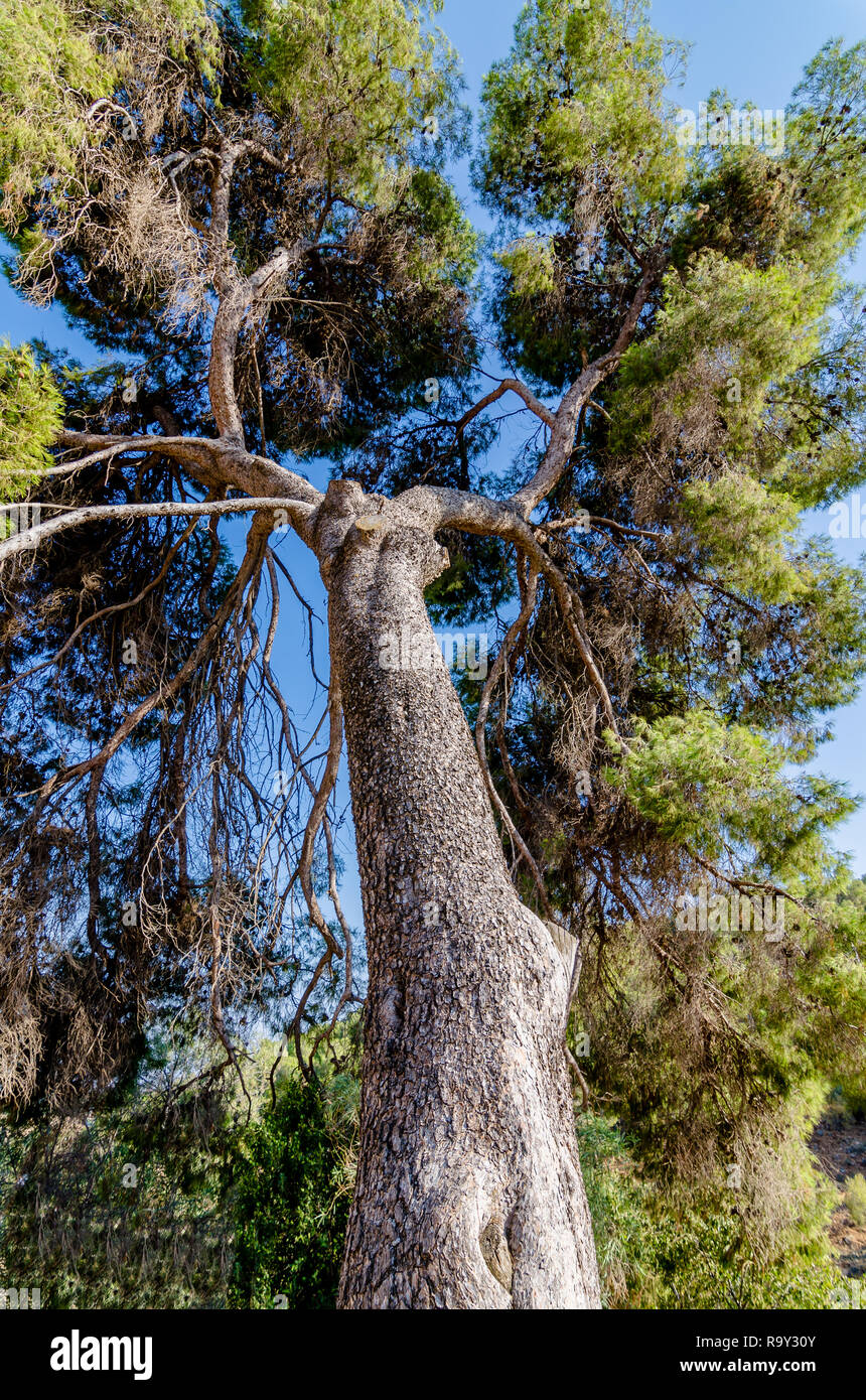 Vertical perspective of a tall Jerusalem Pine tree in Rosh Pina, Israel - Stock Image