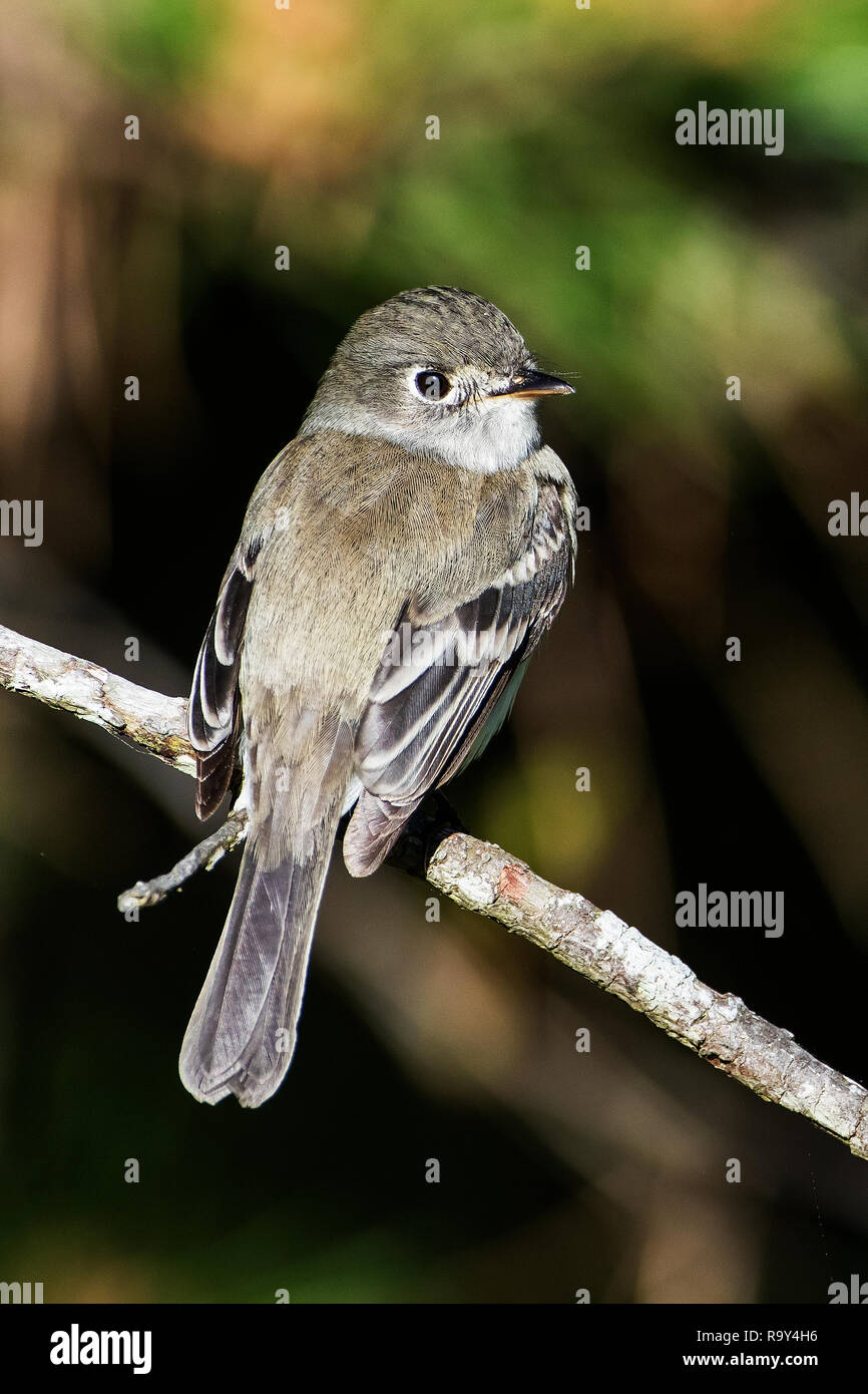 Least flycatcher during spring songbird migration, - Stock Image