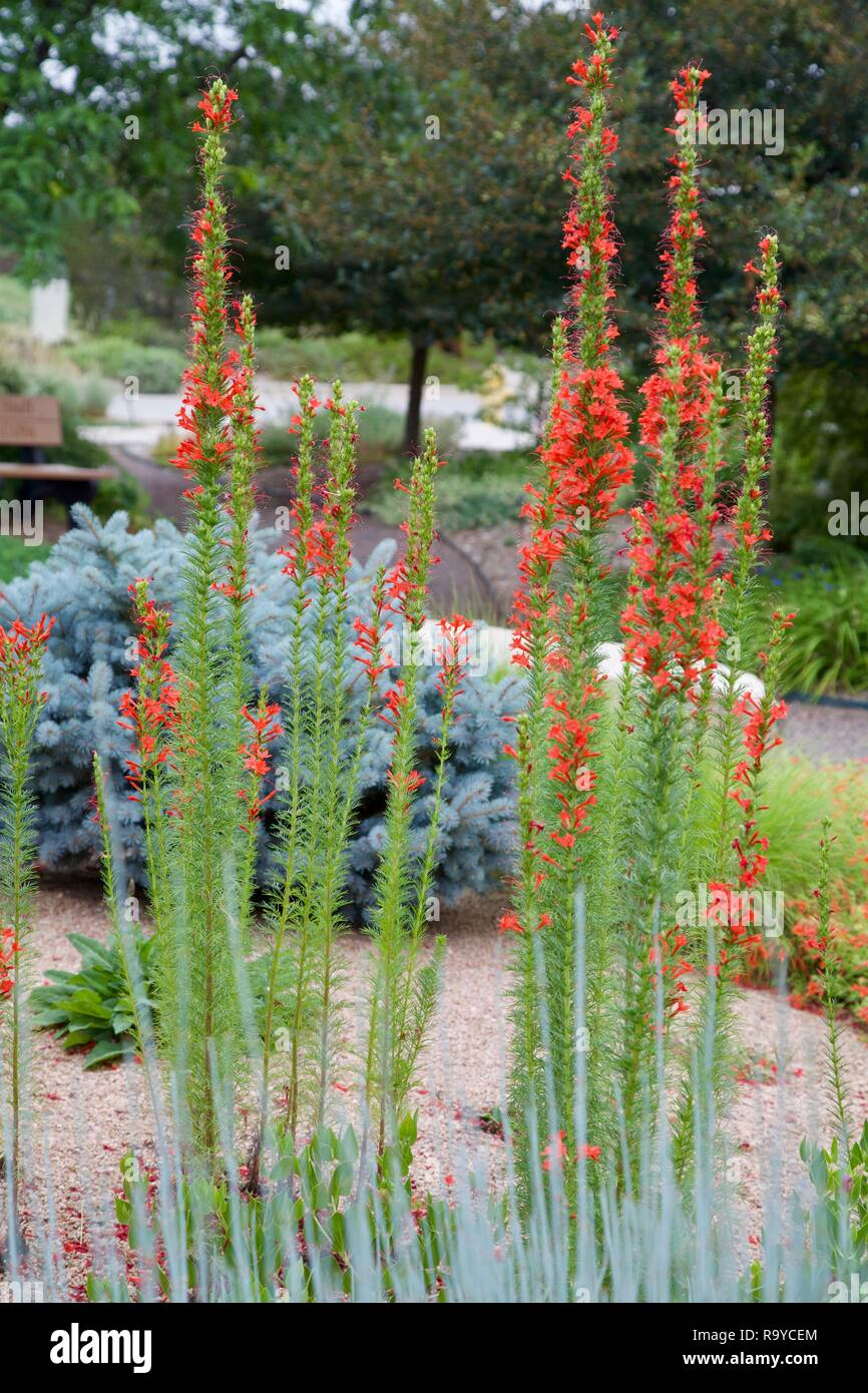 Multiple plants of Scarlet Gilia growing in a garden and displaying their showy red tubular flowers. - Stock Image