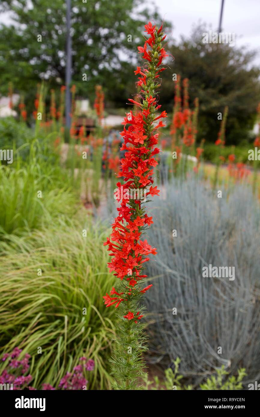 A Scarlet Gilia flower stalk showing the array of red trumpet shaped flowers. - Stock Image