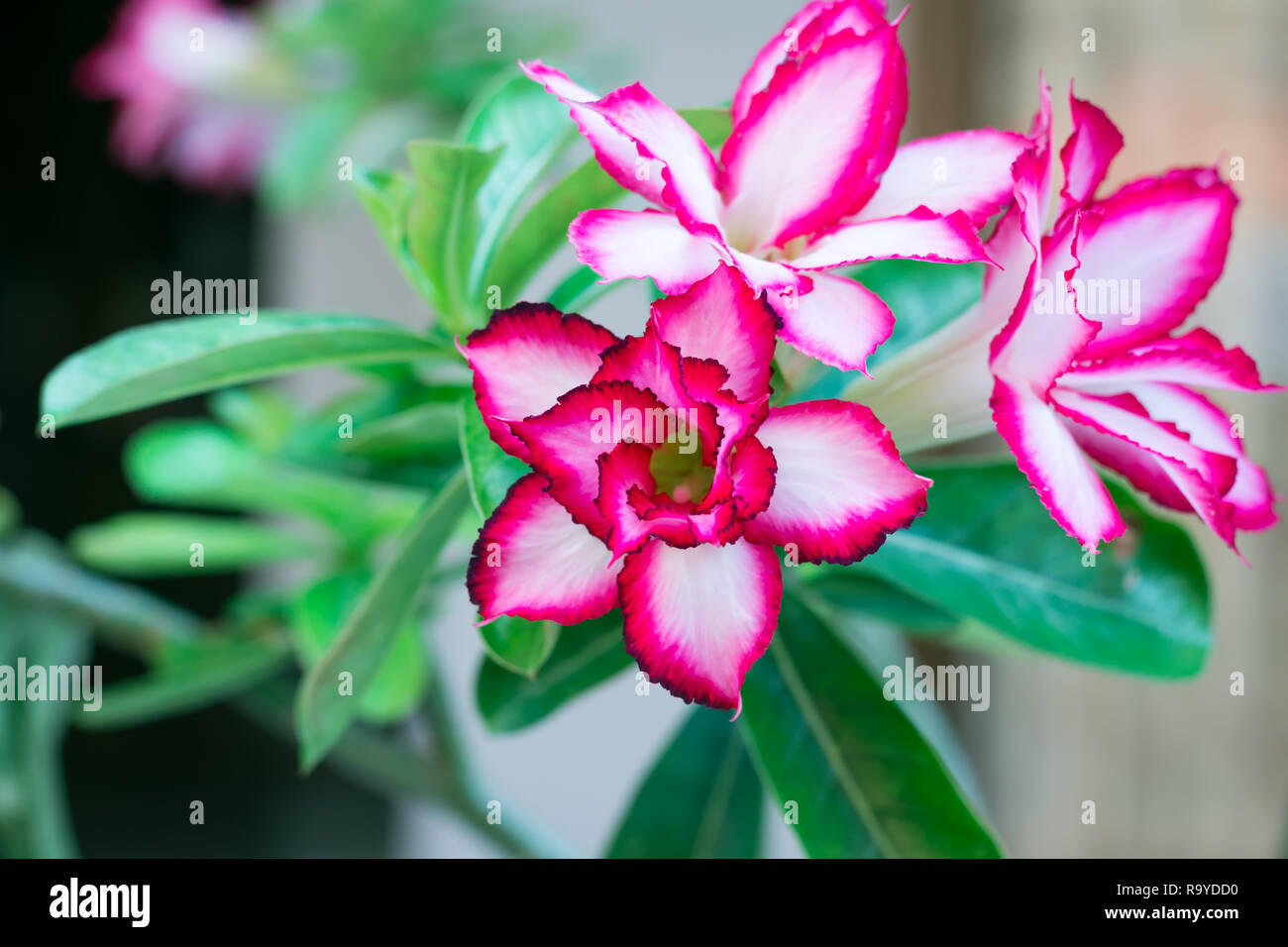 Red Desert Rose Or Impala Lily Or Mock Azalea With Green Leaves