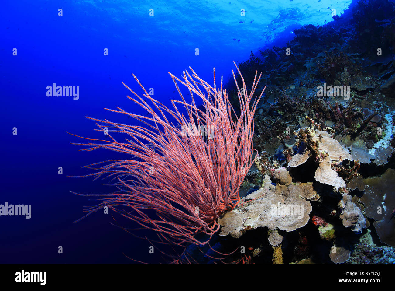 Beautiful Corals underwater in the Great Barrier Reef of Australia - Stock Image