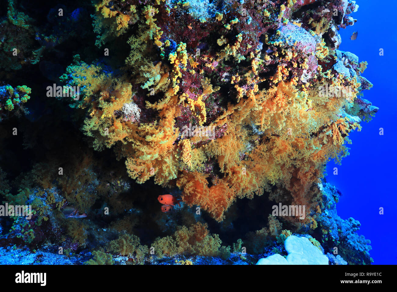 Beautiful soft corals underwater in the Great Barrier Reef of Australia - Stock Image