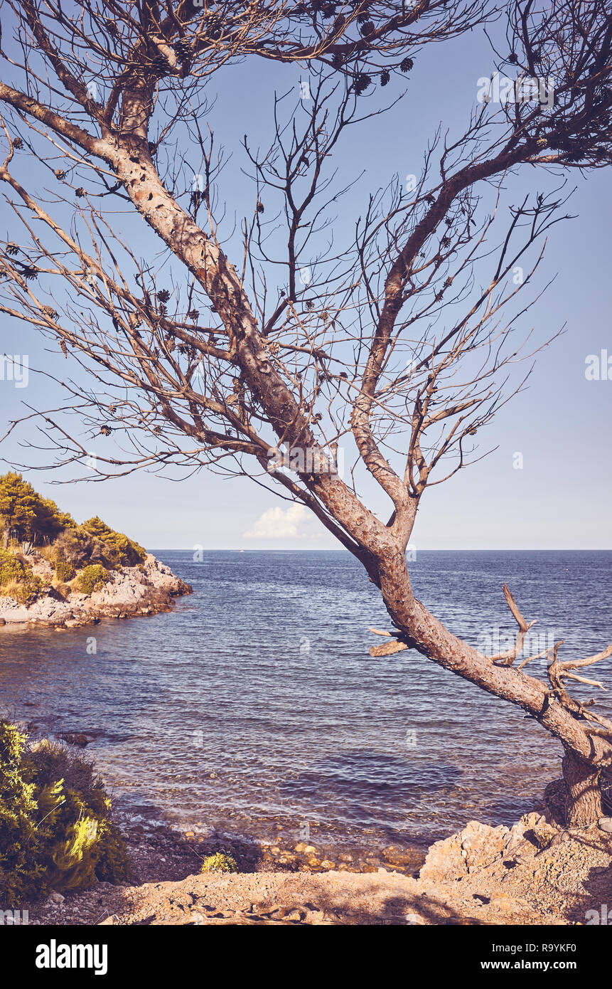 Retro toned picture of a needleless coniferous tree by a cliff at sunset, Mallorca, Spain. - Stock Image