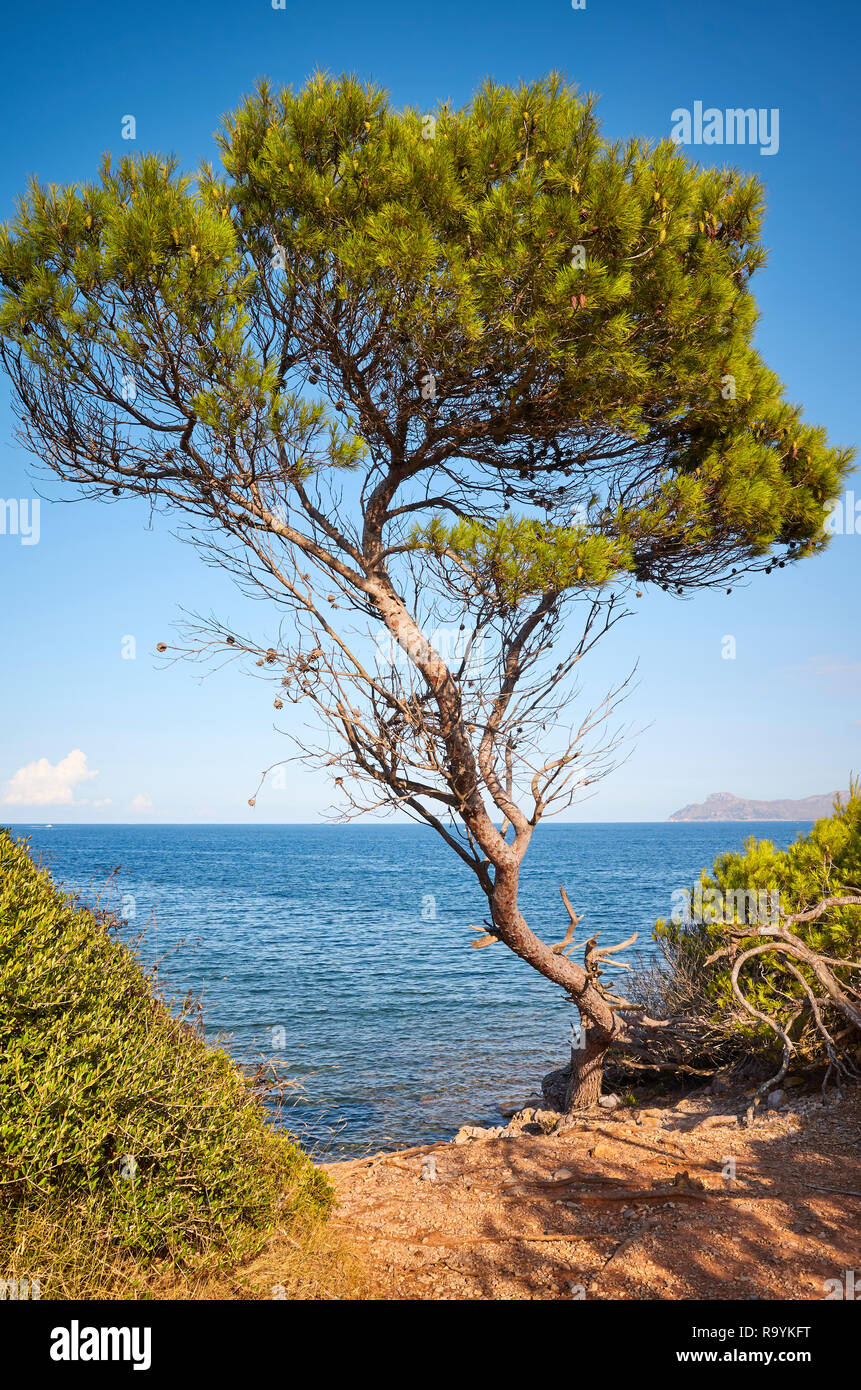 Coniferous tree at a cliff at sunset, Mallorca, Spain. - Stock Image