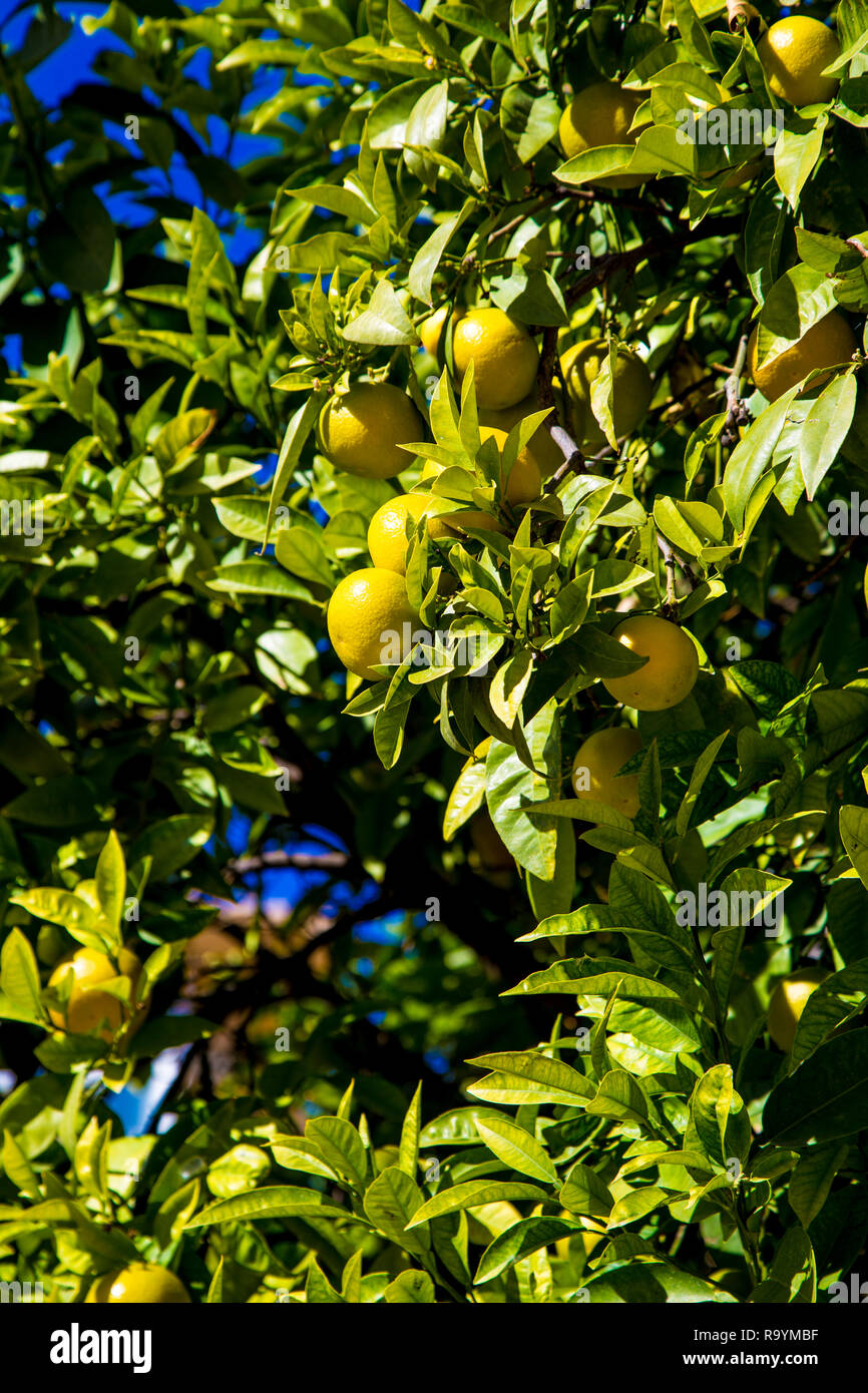 Oranges growing on a tree in the city of Valencia, Spain Stock Photo