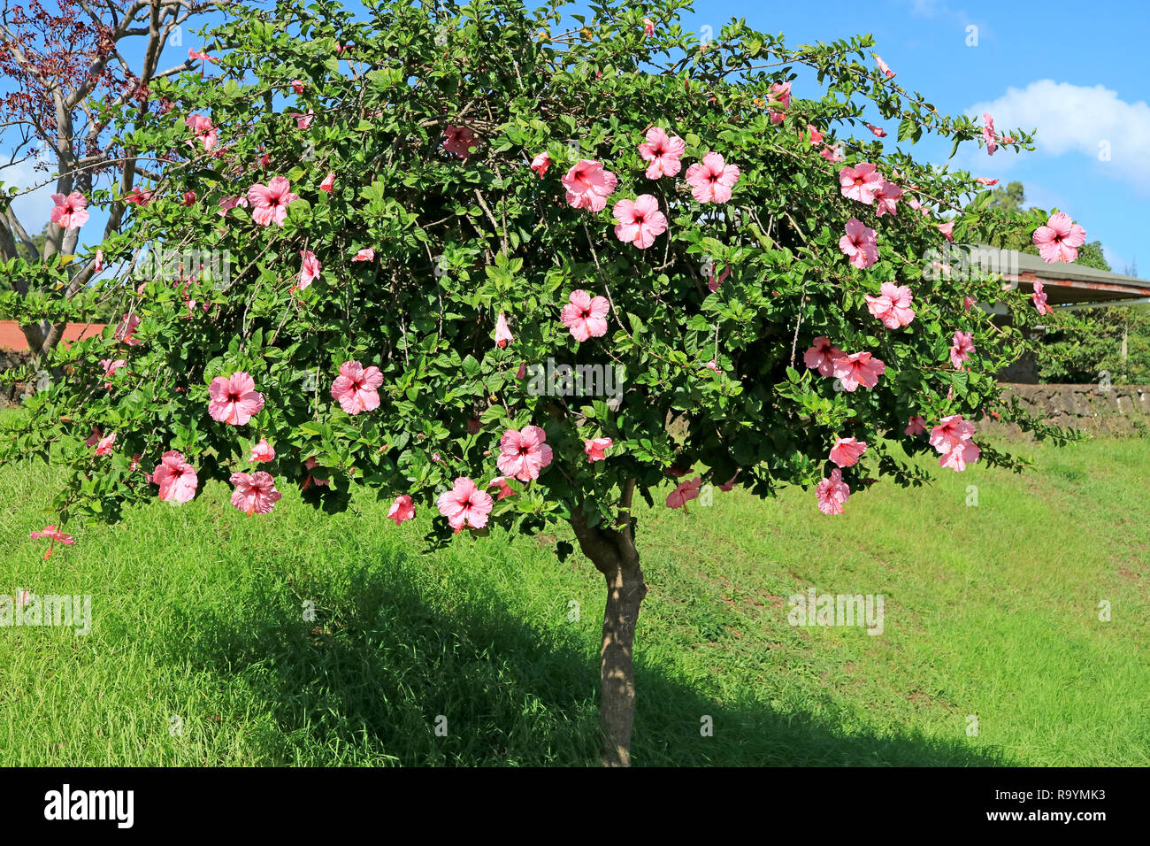 Flowering Pink Hibiscus Tree On Easter Island Chile South America