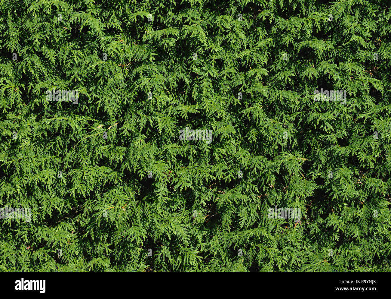 Trimmed hedge of thuja occidentalis - Stock Image