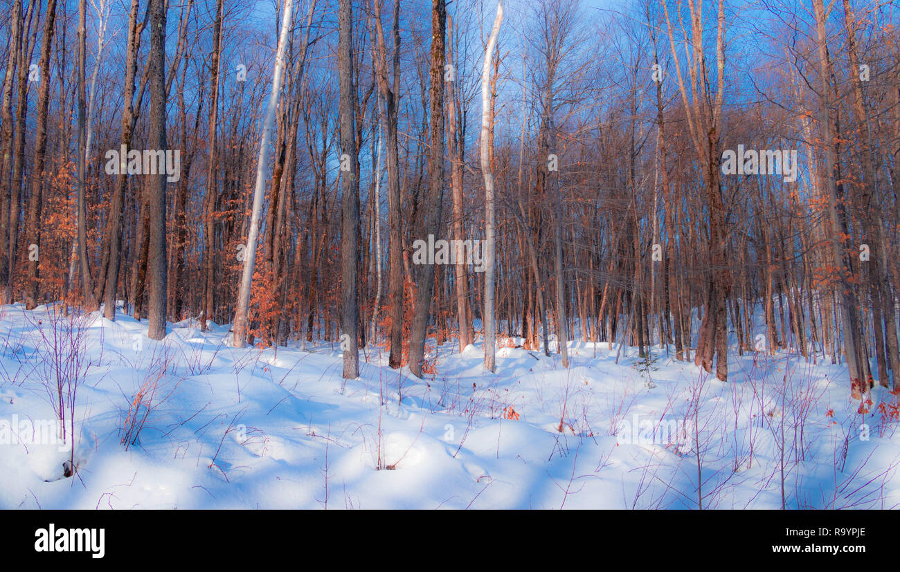 The magic forest, Winter scene in sunlight. Blue sky and snow in the forest - Stock Image