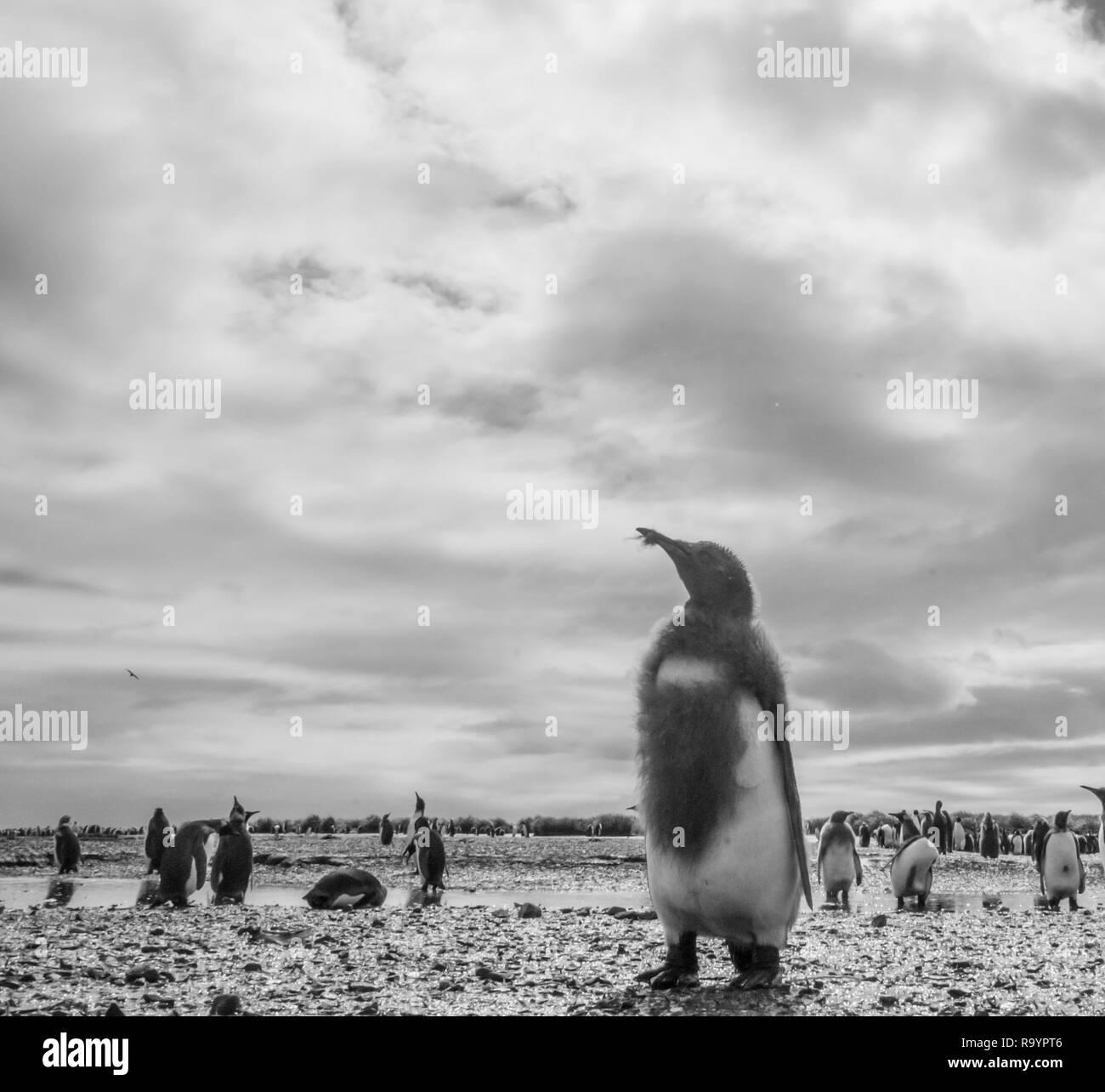 King Penguins on Salisbury plains - Stock Image