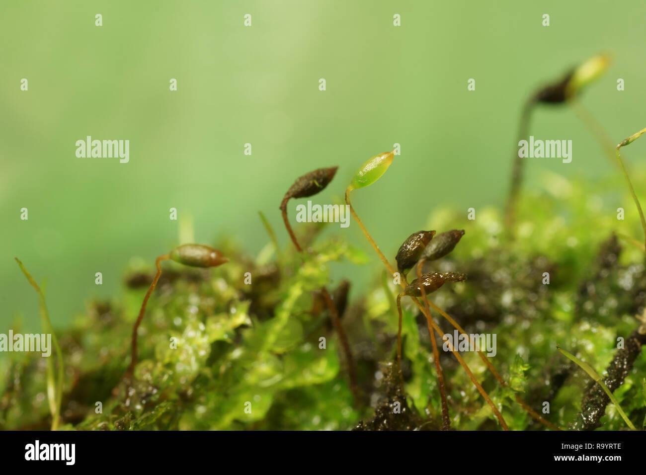 Vesicularia vesicularis - Stock Image