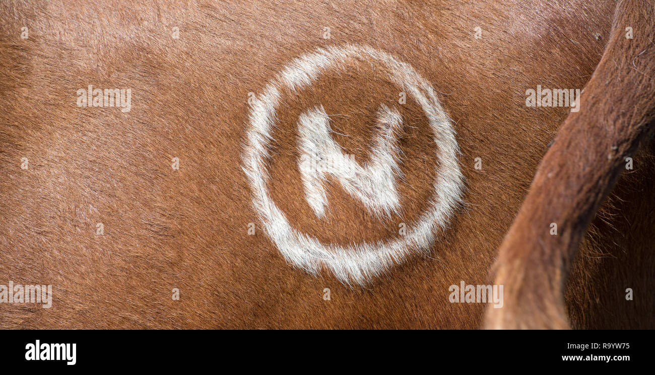 Freeze brand on the hide of a beef cow to help identification. - Stock Image