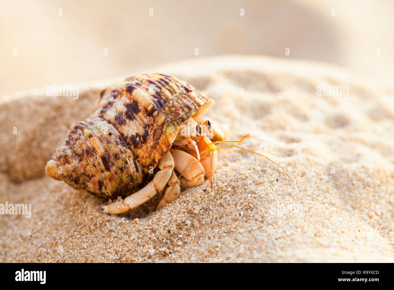 Hermit crab get out from shell to explores the environment in local Seychelle beach - Stock Image