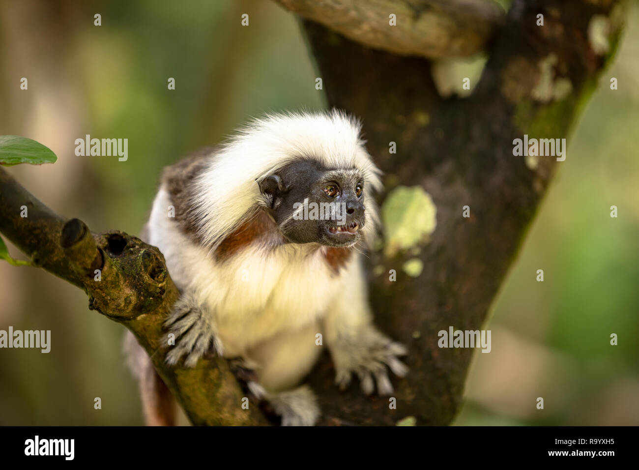Cotton Top Tamarin Monkey, Saguinus oedipus, sitting on a tree branch - Stock Image