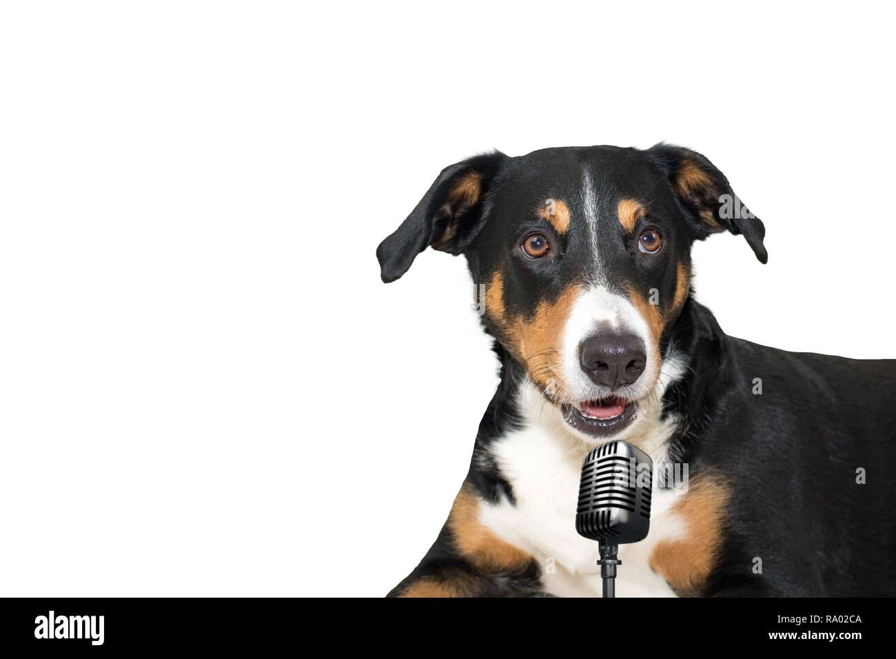 Appenzeller mountain dog isolated on white background singing with microphone - Stock Image
