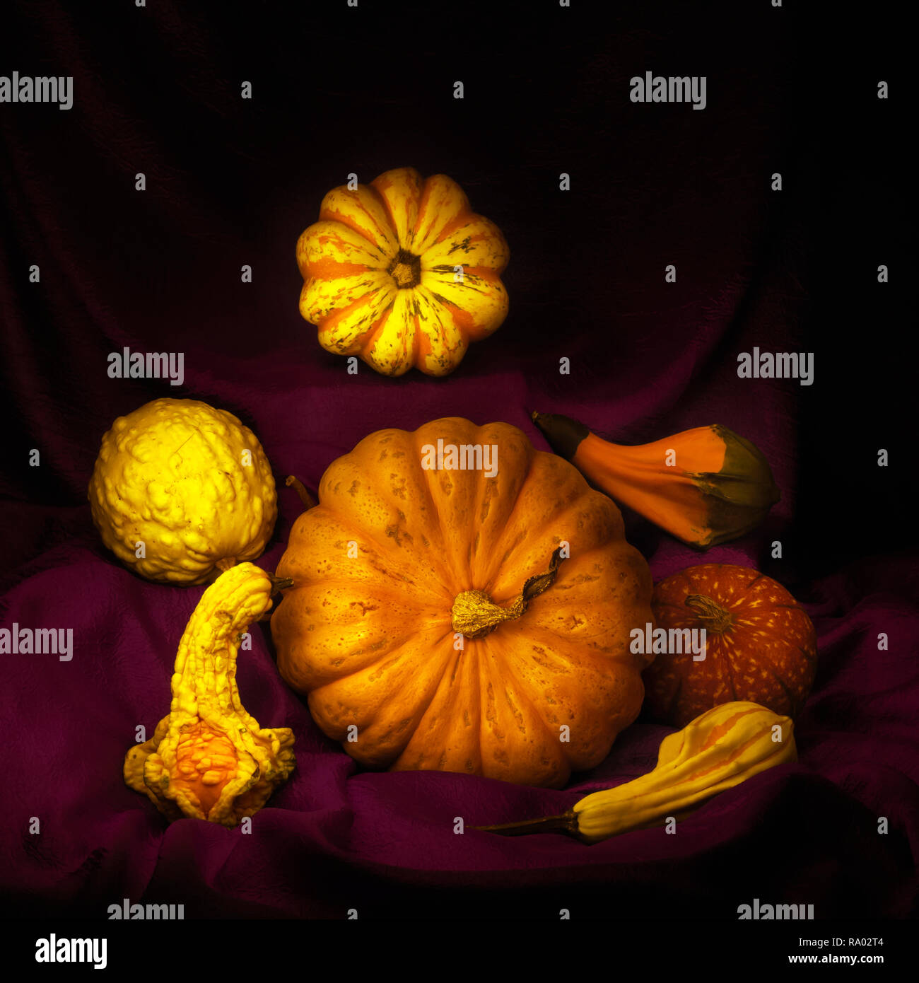 An arrangement of edible and ornamental winter squashes, pumpkins, on draped dark red fabric. Light painting still life. - Stock Image