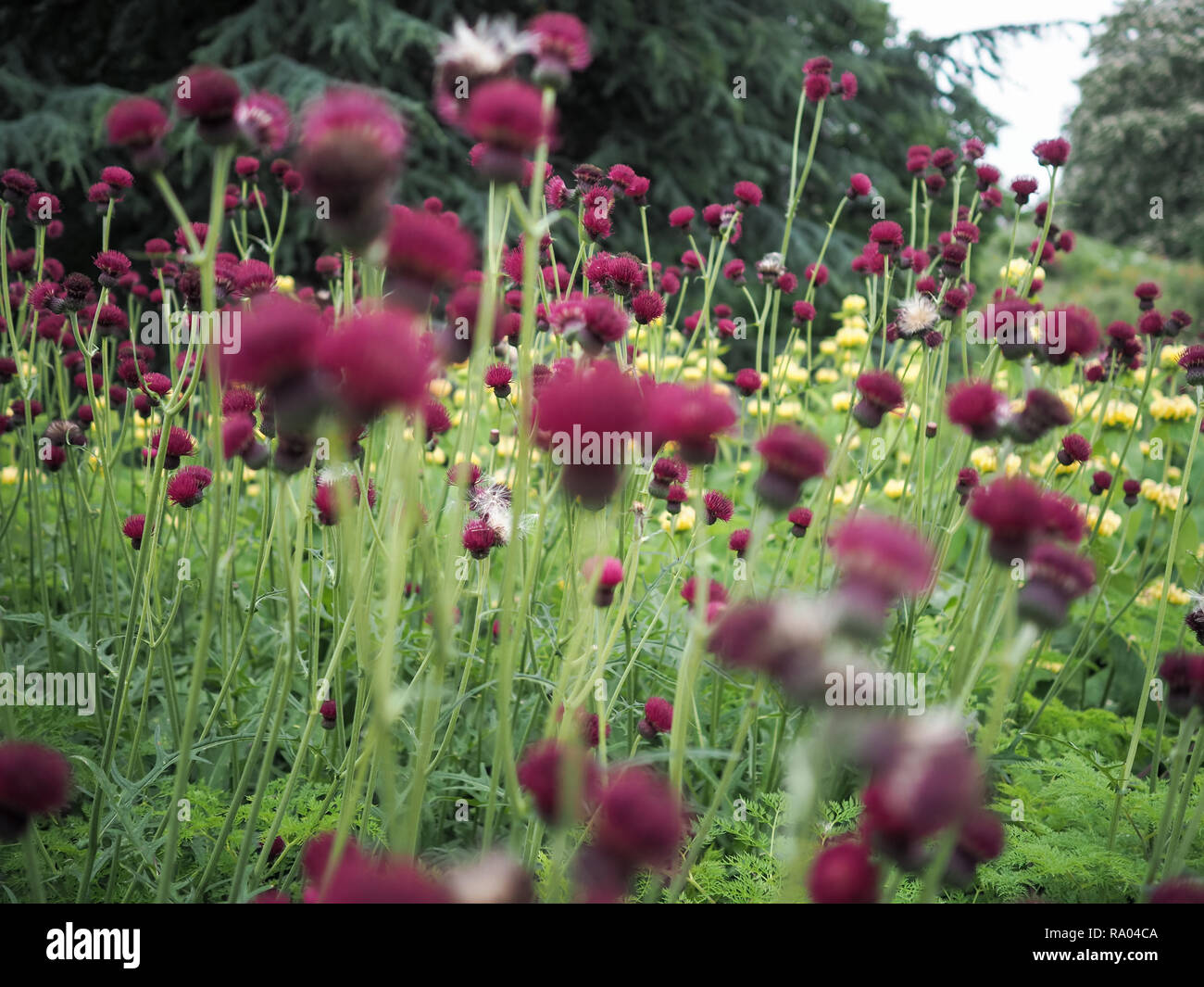 Red brook thistle blooms in a garden - Stock Image