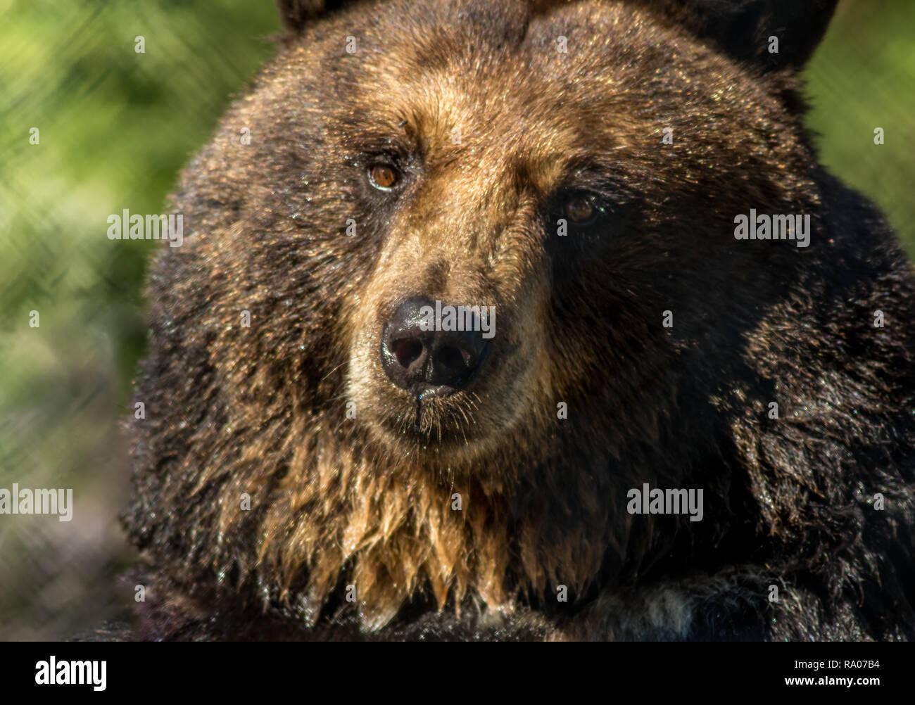 Black bear closeup makes funny facial expressions green background.  Bear market dreadfulness.  Not optimistic.  Crazy times. - Stock Image