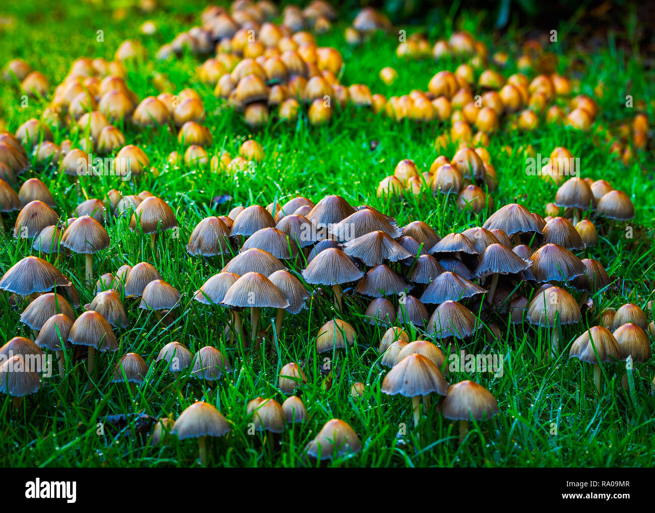 Glistening inky cap Coprinellus micaceusFly - Stock Image