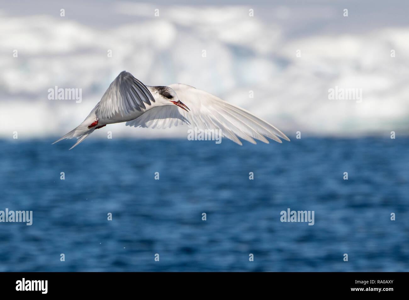 Antarctica, Antarctic peninsula, Gerlach Straight, Wilhelmina Bay in the Enterprise Island area. Antarctic tern (Sterna vittata) in flight. Stock Photo