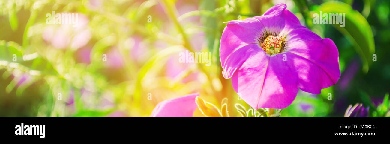Beautiful Purple Petunias Grow In The Garden On A Sunny Day Beautiful Flowers Natural Wallpaper Background Stock Photo Alamy